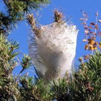 Disposizioni per la lotta obbligatoria contro la processionaria del pino